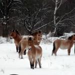 winter_horses_prjevalsky